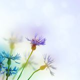 Cornflowers background Royalty Free Stock Images