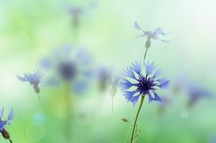 Cornflowers background Stock Photography