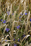 Cornflowers in a barley. Maturation grain on the fild and flowering cornflower Stock Photography