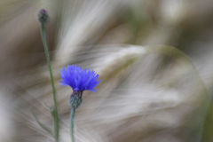 Cornflowers in barley field Royalty Free Stock Photo