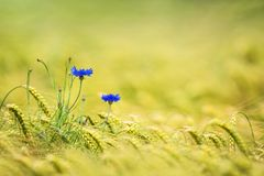 Cornflowers in a barley field stock images