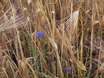 Cornflowers in the barley field closeup Stock Image