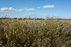 Cornflowers in barley Royalty Free Stock Images