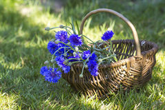Cornflowers in a basket Stock Photography