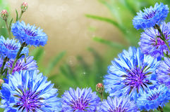 Cornflowers with a beautiful background. Royalty Free Stock Image