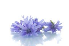 Cornflowers. Beautiful blooming cornflowers close-up on white background royalty free stock image