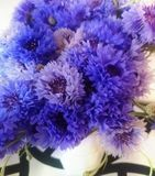 Cornflowers. A beautiful bouquet of cornflower in various blue colors Stock Images