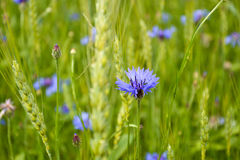 Cornflowers. Beautiful cornflowers in field together with rye Stock Photo