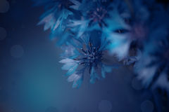 Cornflowers are beautiful summer events, festivals, greeting dec Royalty Free Stock Images