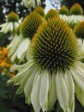 Cornflowers blancos verticales Imagen de archivo libre de regalías