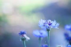 Cornflowers bleus Images libres de droits