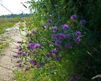 Cornflowers blisko wiejskiej drogi Obrazy Stock