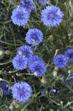 Cornflowers blu Fotografia Stock Libera da Diritti