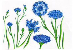 Cornflowers blu fotografia stock