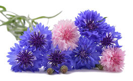 Cornflowers. Blue and pink Cornflowers isolated on white stock photo