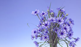 Cornflowers in blue sky background. Royalty Free Stock Photography