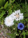 Cornflowers. Blue and White Cornflowers stock photography