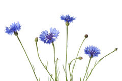 Cornflowers Royalty Free Stock Images