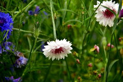 Cornflowers. Blue and white cornflowers in home gardens and meadows, beautiful flowers in the background green stalks of plants royalty free stock image