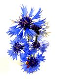 Cornflowers bouquet Royalty Free Stock Photography