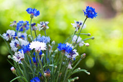 Cornflowers bouquet outdoor. On green bokej background royalty free stock image