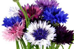 Cornflowers. Stock Image