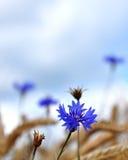 Cornflowers (Centaurea cyanus) Stock Images
