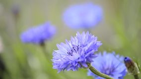 Cornflowers stock footage