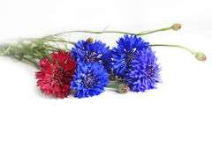 Cornflowers. Close up isolated on white background stock images