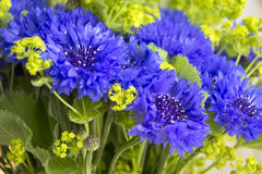 Cornflowers Royalty Free Stock Image
