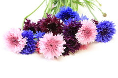 Cornflowers Stock Photography