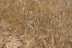 Cornflowers in cornfield. Nature background of cornfield with cornflowers Stock Photos