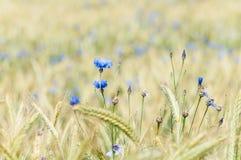 Cornflowers in cornfield Royalty Free Stock Image