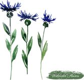 Cornflowers drawing by watercolor Royalty Free Stock Photo