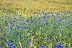 Cornflowers e campo di granulo in Baviera, Germania Immagini Stock