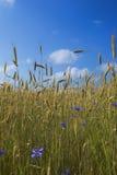 Cornflowers e segale Fotografie Stock