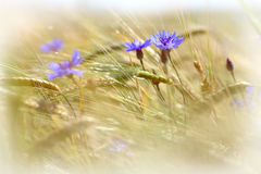 Cornflowers and Ears of Barley closeup. Royalty Free Stock Photography