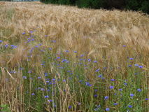 Cornflowers at the edge of the barley field Royalty Free Stock Photo