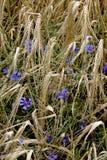 Cornflowers en una cebada Fotografía de archivo