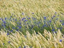 Cornflowers entre le blé Photographie stock libre de droits