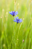 Cornflowers in a field. A pair of cornflowers in a field. summer time Stock Images