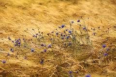 Cornflowers in the field. Beautiful wild flowers in windy field Royalty Free Stock Photo