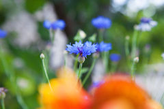 Cornflowers on field Stock Photography