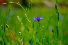 Cornflowers in the field stock photos