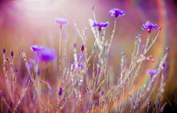 Cornflowers. In a field, soft sunlight and lens flare royalty free stock image