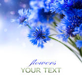 cornflowers Flores azules salvajes Fotografía de archivo
