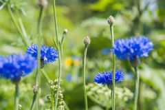 Cornflowers Flowers on a field in summer Royalty Free Stock Images