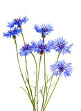 Cornflowers flowers Royalty Free Stock Images