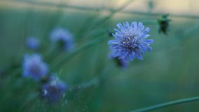 Cornflower in a gentle light royalty free stock photography