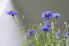Cornflowers. In front of a white wall stock photography